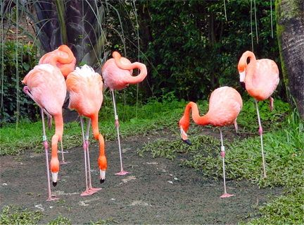 Flamants Rouges