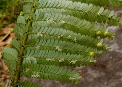 Phyllanthus mimosoides