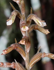 Cyclopogon elatus