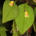 Lepanthes aurea