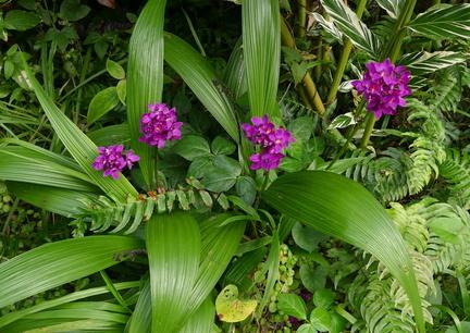 orchidee sauvage guadeloupe