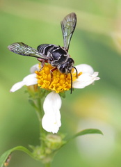 Coelioxys rufipes