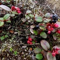 Gaultheria domingensis